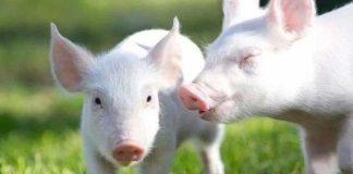 Viru Flu Babi Baru